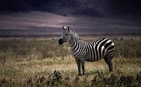 free zebra wallpapers app apk download for android getjar