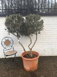 miniature cloud pruned olive tree