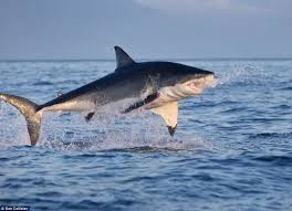 Great White Shark Attack Cape Cod - 307 best sharks images on pinterest shark week great white