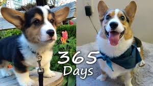 puppyhood 365 corgi puppy grows