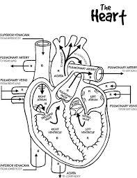 vital organs anatomi colouring vital organs anatomi