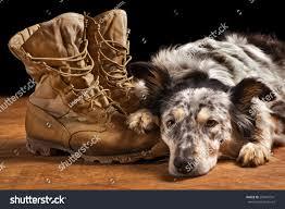australian shepherd tan border collie australian shepherd dog lying stock photo 250641541