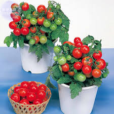 online get cheap greenhouse tomato plants aliexpress com
