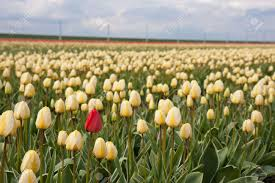 lonely red tulip in yellow tulip field stock photo picture and
