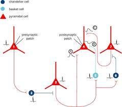 chandelier cells chandelier neuron neuronbank