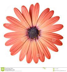 peach color peach color daisy royalty free stock photos image 31142688