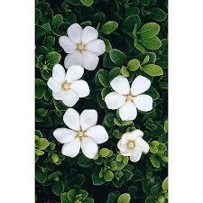 Gardenia Delivery Shop Monrovia 2 6 Quart White Gem Gardenia Flowering Shrub At