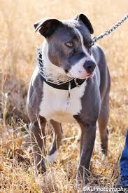 american pitbull terrier apbt 119 best pitbulls images on pinterest animals pit bulls and puppies