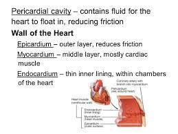 the inner lining of the heart quiz worksheet heart disorder