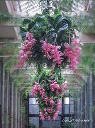 medinilla magnifica christina salwitz personal garden coach