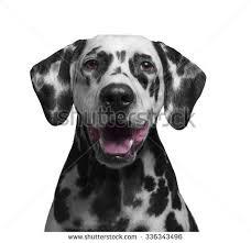 american pitbull terrier dalmatian mix black white pitbull terrier mix puppy stock photo 380424790
