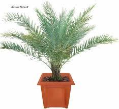 sylvester date palm tree sylvester date palm tree sugar date palm sylvestris real