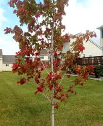 early fall color trees shrubs sign stress msu