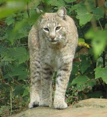 North Carolina wild animals images Catamounts jpg
