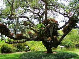 Botanical Gardens Sarasota Fl Epiphytes In Tree Picture Of Selby Botanical Gardens