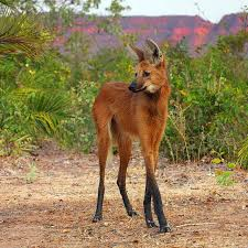 maned wolf chrysocyon brachyurus canidae other wild canids