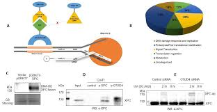 ijms free full text a human xpc protein interactome u2014a resource