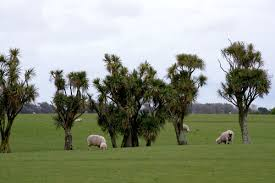 cabbage trees in a paddock trees in the rural landscape te ara