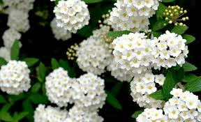 White Flowering Shrubs - 5 must have shrubs with white flowers to extend the life of your