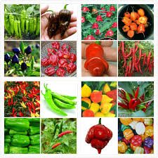 aliexpress buy survival 200 mixed pepper seeds 16 different