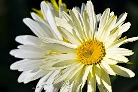 Flowers Information - shasta daisy flowers picture photo information