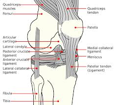 Tibiofibular Ligament Injury Medial Collateral Ligament Wikipedia