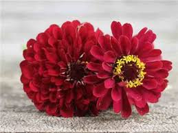 Zinnia Flowers Meteor Zinnia Flower Seeds Baker Creek Heirloom Seeds