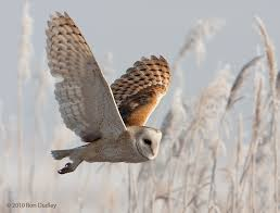 Barn Owl Photography Owl In Flight Barn Owls In Flight Feathered Photography