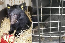 Smithers Interior News Obits Two Orphan Bear Cubs Travel From Haida Gwaii To Smithers Haida
