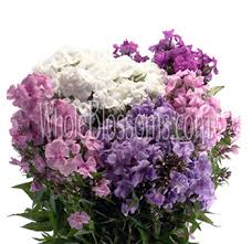 Phlox Flower Phlox Flowers Buy Fresh Cut Wholesale Phlox Flower For Weddings