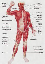 Joints Human Anatomy Diagram Of Muscles In Human Body Human Anatomy Muscles And Joints