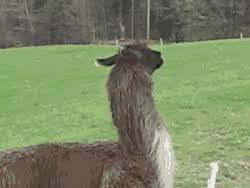 Alpaca Sheep Meme - gif funny animals llama sunglasses sheep alpaca liebatron