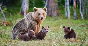 Alaska Wildlife images Bear rescue alaska wildlife rescue jpg