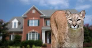 cougar seen in cosmopolis not near the kxro news radio