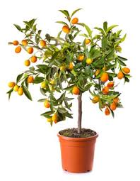 the citrus a valuable plant for home gardening gardener s
