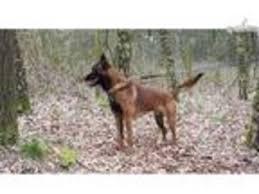 belgian sheepdog puppies texas view ad belgian malinois puppy for sale texas san antonio usa