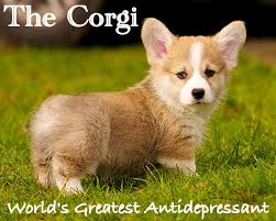 Antidepressant Meme - 10 funny corgi memes