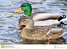 breeding pair of mallard ducks stock image image 29836551