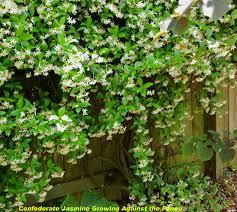 star jasmine hanging from wall garden inspo pinterest diy