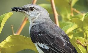 mockingbirds live up to their name the san diego union tribune