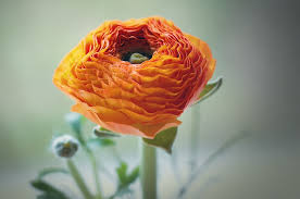 Yellow Orange Flowers - free photo flower ranunculus orange flowers free image on