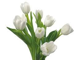 wallpaper bunga tulip wallpaper white tulips spring tulip petal land plant