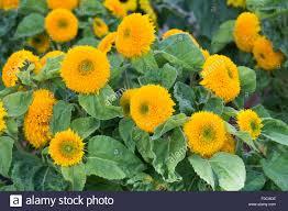 teddy sunflowers helianthus annuus teddy flowers sunflower stock