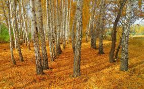 birch trees autumn landscape yellow leaves wallpaper 1920x1200
