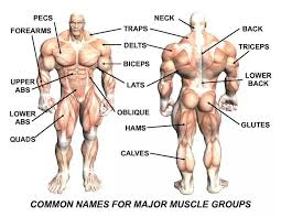Human Anatomy Upper Body Muscles In The Upper Body Kalia Lor