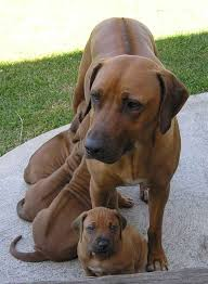 american pitbull terrier rhodesian ridgeback mix rhodesian ridgeback dog breed information puppies u0026 pictures