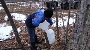how maple syrup is made the griffin project youtube
