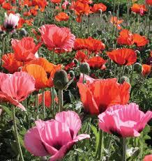 pizzicato poppy seeds