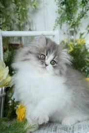 best 25 cute kittens for sale ideas on pinterest kitty cat