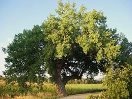 Cottonwood Tree Flowers - kansas state tree cottonwood tree